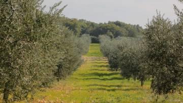 Maslinik zemljište na prodaju Krnica